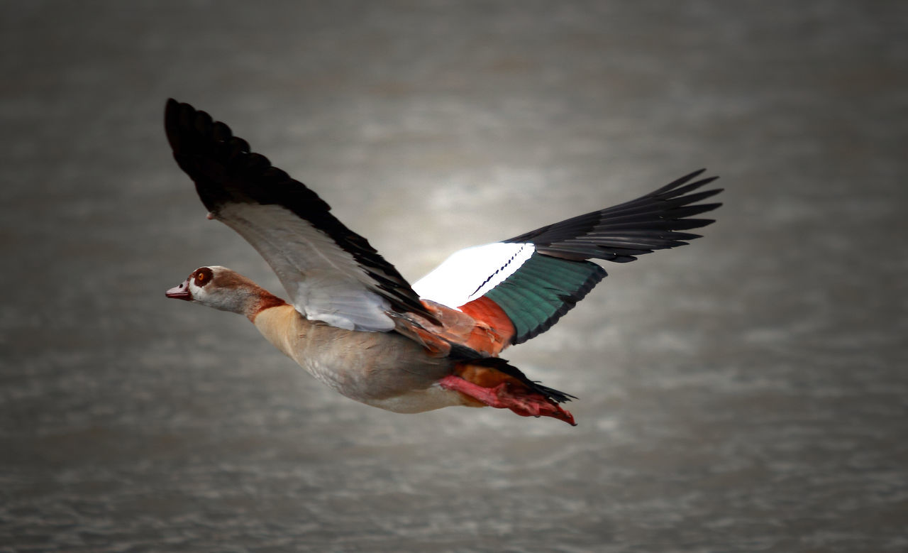 Am Wasser Animal Themes Animal Wildlife Animals In The Wild Bird Day Egyptian Goose Egyptian Goose In Flight Flying Full Length Nilgans No People One Animal Outdoors Spread Wings Water Bird