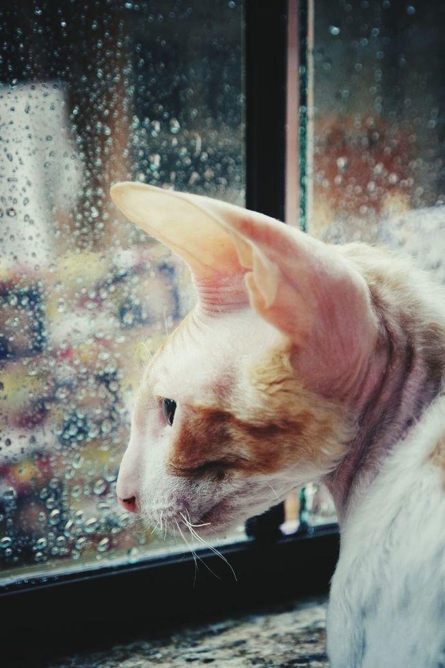 Nx3000 Pet Photography  Segatarex Cornishrex CRX Animals Cats Moments Animal Photography Rain #chuva