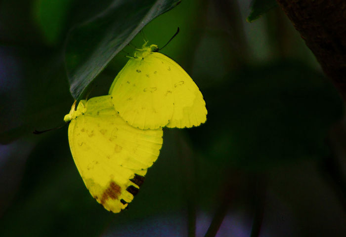 Yellow Flower Animal Themes Animals In The Wild Beauty In Nature Butterflies Butterfly Butterflys Close-up Day Flower Flower Head Focus On Foreground Fragility Freshness Growth Insect Insects  Leaf Mating Dance Mating Pair Of Insects Nature No People One Animal Outdoors Yellow