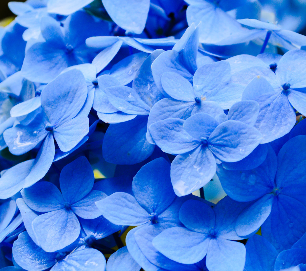 Beauty In Nature Blue Blue Flowers Blue Petals Close-up Day Flower Flower Head Fragility Freshness Hydrangea Nature No People Outdoors Petal