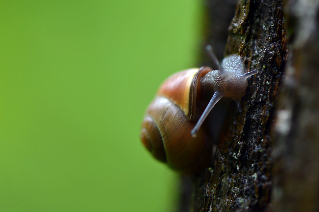 Snail on a tree... One Animal Animal Themes Animals In The Wild Animal Wildlife Close-up Day No People Outdoors Nature Beauty In Nature Rainy Days Plant Macro In The Forest Freshness Fragility After The Rain Simplicity Snail Snails Tree Bark Shell Animal Portrait Mollusca