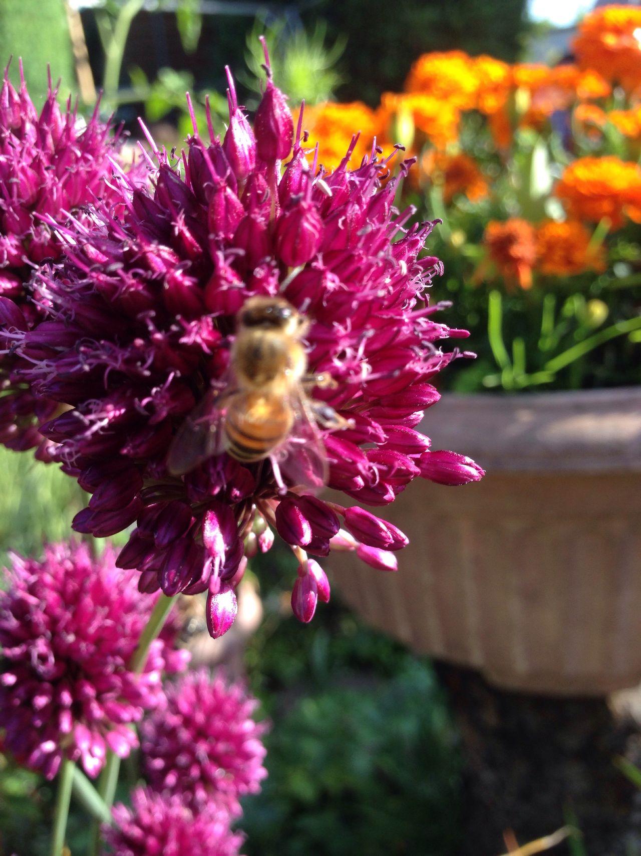 Garten Pflanze Natur Allium Sphaerocephalon Allium Flower Garden Zierlauch Kugellauch Garden Photography Lauch Wildbiene Wildbee Biene Bee Wildbienen Bienen Bei Der Arbeit Bienen  Bees Bees And Flowers