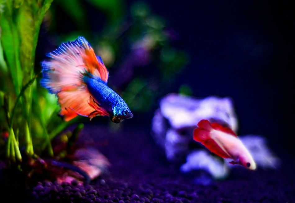 Bettasiamesefish Betta Fish Bettasofinstagram Bettasplendens Bettaholicz Betta Lovers Betta F Betta Go Somewhere Else With That Attitude Courting Aquarium Photography Nanotank Underwater Nano Fish Aquarium Nature Aquarium Life Beauty In Nature Swimming