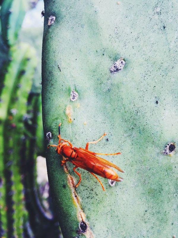 Nature Bobyplacaslocas Portrait Photography Bugs Nopal Mexico Natural Nature