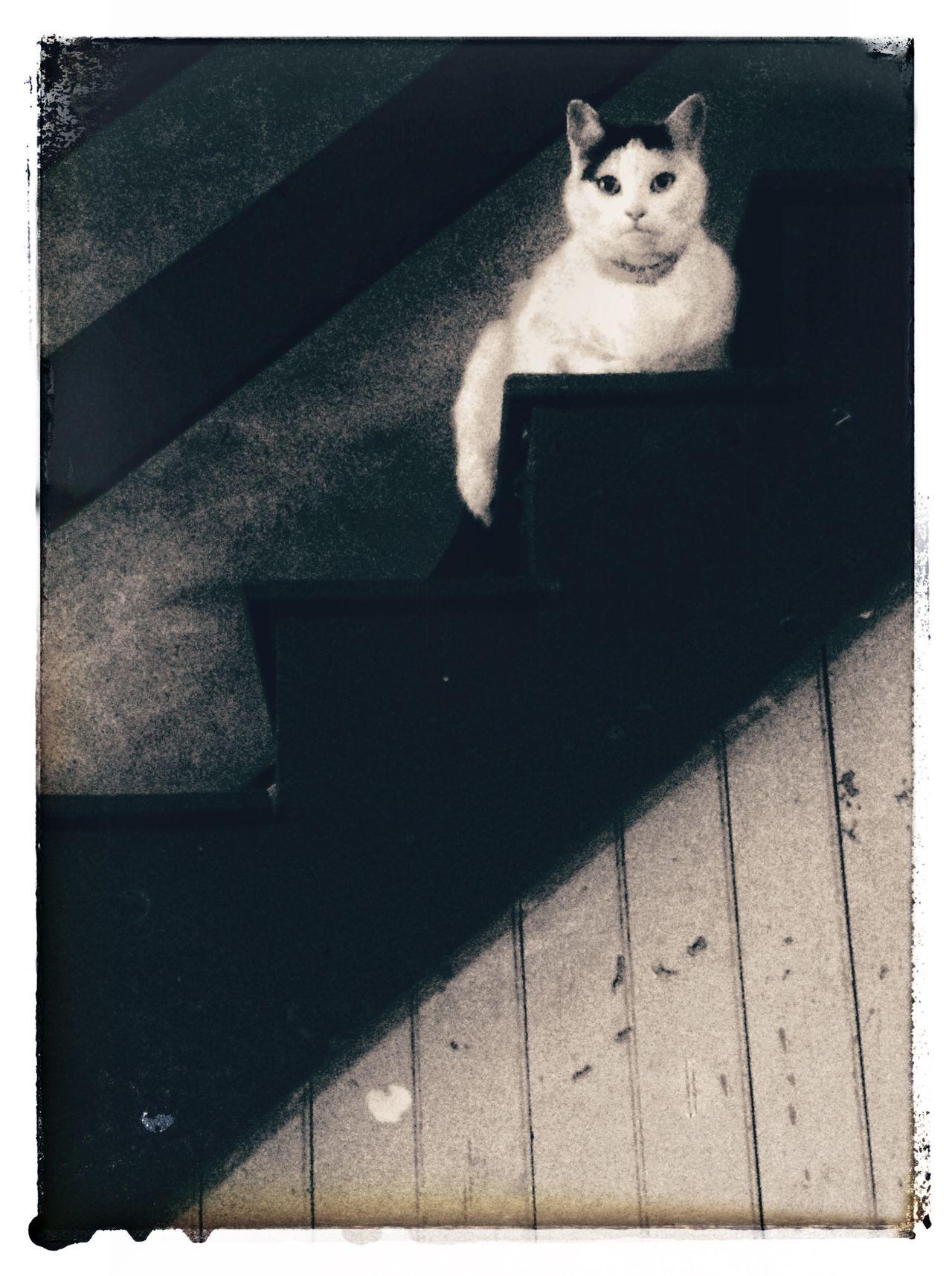 IPadography Snapseed Cat Katze Ilovemycat Pets Blackandwhite