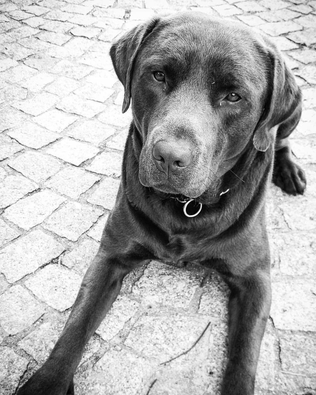 dog, pets, one animal, domestic animals, animal themes, outdoors, mammal, day, looking at camera, sitting, portrait, no people, weimaraner, close-up