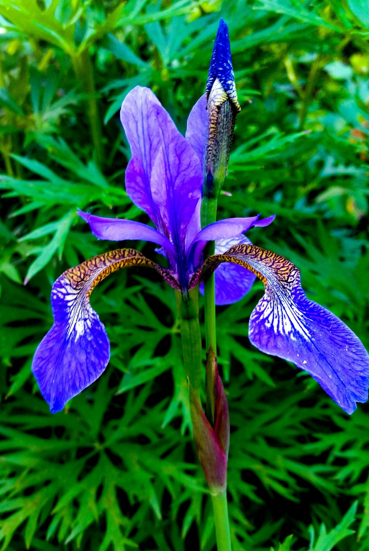 Irisflowers Deep Blue Purple Flower Symmetrical Fragility Flower Beauty In Nature Purple Flower Head Petal No People Countryside Landscape EyeEm Nature Lover Flowerphotography Springtime Still Life Photography Botany Evening Sun