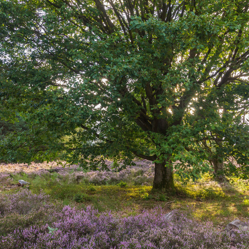 Afternoon Light Mehlinger Heide TheWeek On EyEem Tree Beauty In Nature Blooming Day Evening Green Color Growth Heather Heathland  Landscape Late Afternoon Light Nature Naturelovers No People Oak Outdoors Plant Sunset Tree