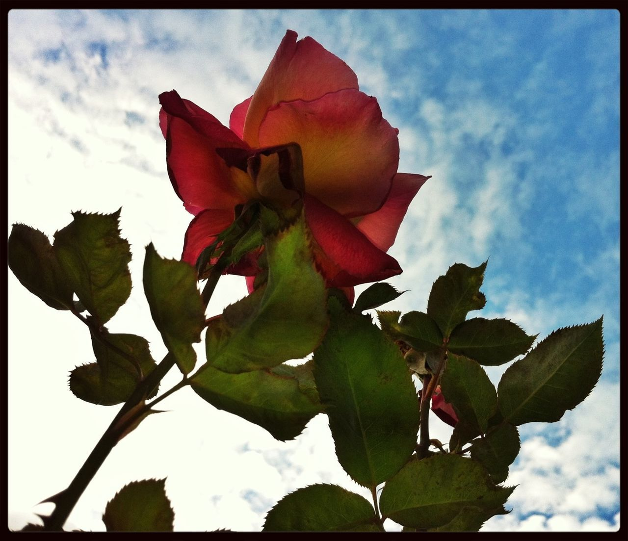 Low Angle View Of Rose