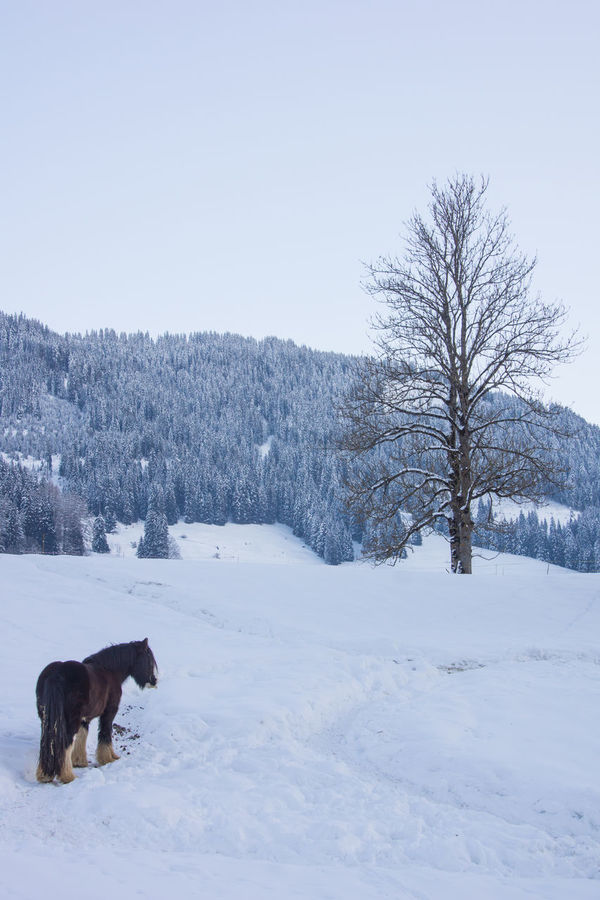 winter scenery with a horse Animal Themes Bare Tree Beauty In Nature Clear Sky Cold Cold Temperature Domestic Animals Farm Field Free Horse Gstaad Horse Life Mountain Nature One Animal Outdoors Pets Snow Snow Covered Snow ❄ Switzerland Tree Winter Winter Horses Winterday