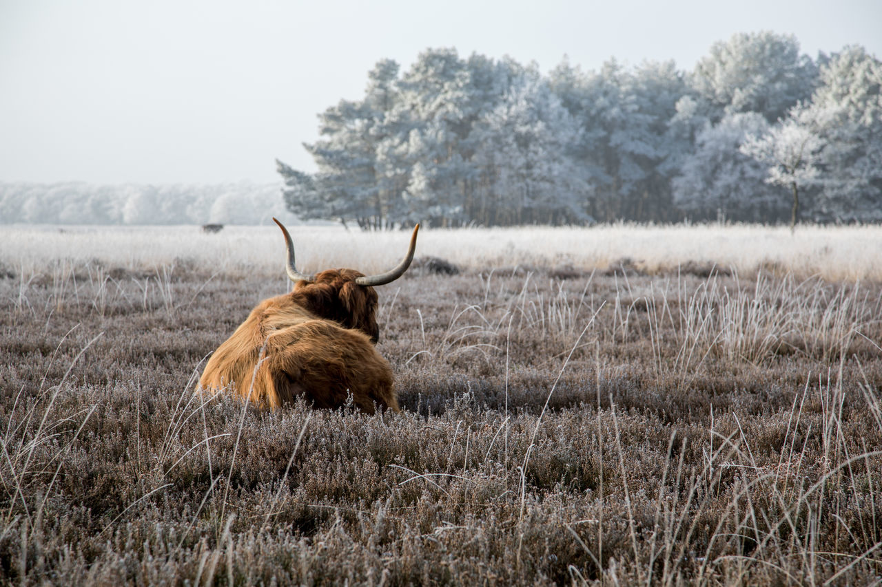 Scottish Highlanders in a winter landscape Tranquility Nature Wintertime Heather Highland Cattle Winter 2017 Landscape Winter_collection Scottish Highlander Winter Landscape Winter Winterscapes Winterwonderland Beautiful Nature Beauty In Nature Scottish Highland Cattle Winter Wonderland Winter Trees Animal Themes Cattle From My Point Of View Beauty Of Nature Livestock Herbivorous Heathland