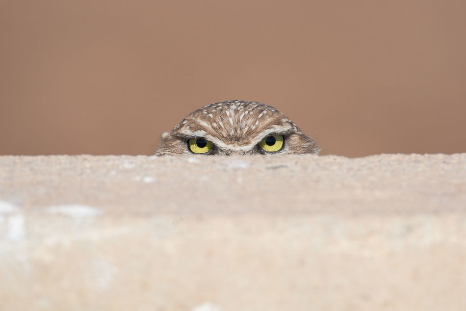 PEEK-A-BOO Animal Themes Animal Wildlife Animals In The Wild Bird Bird Photography Burrowing Owl Looking At Camera Minimalism Nature One Animal Outdoors Owl Eyes Staring Wildlife & Nature Wildlife Photography Art Is Everywhere Salton Sea