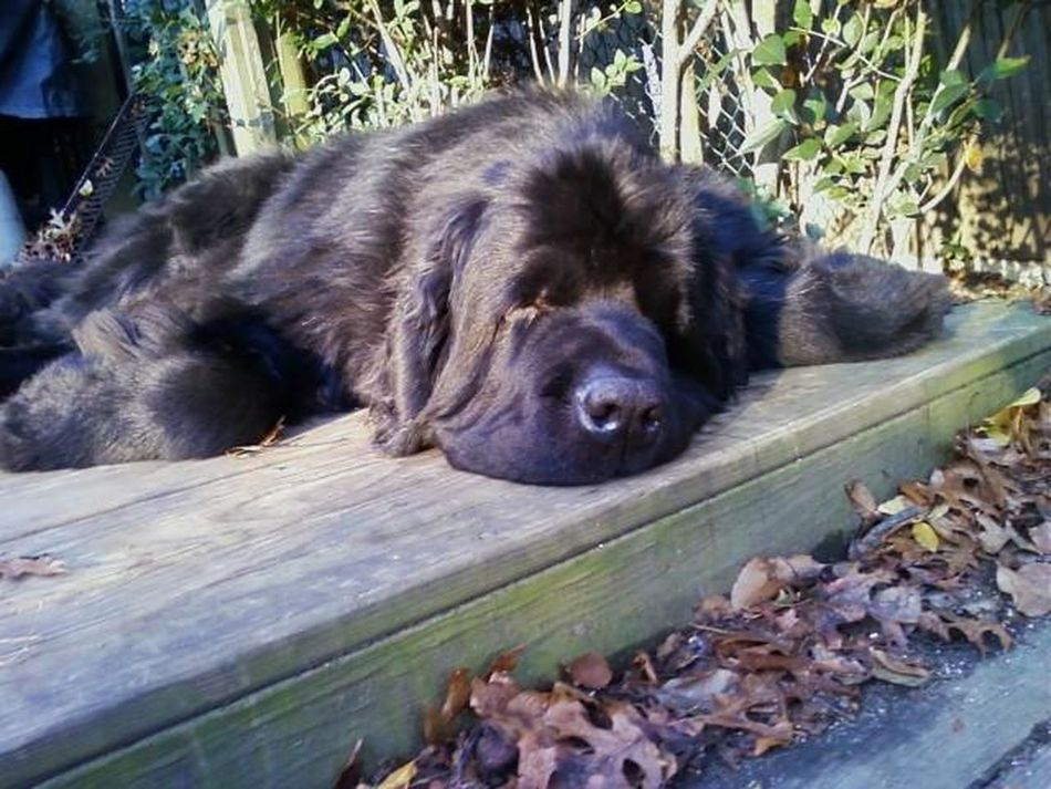 Goliath Relaxing on a fall day Animal Animal Head  Black Color Dog Dog Love Dogs Of EyeEm Domestic Animals Goliath Goliathus Lying Down Mammal Newfoundland Dog Outdoors Pets Relaxation Resting Night Night, Sleep Tight Long Goodbye Art Is Everywhere