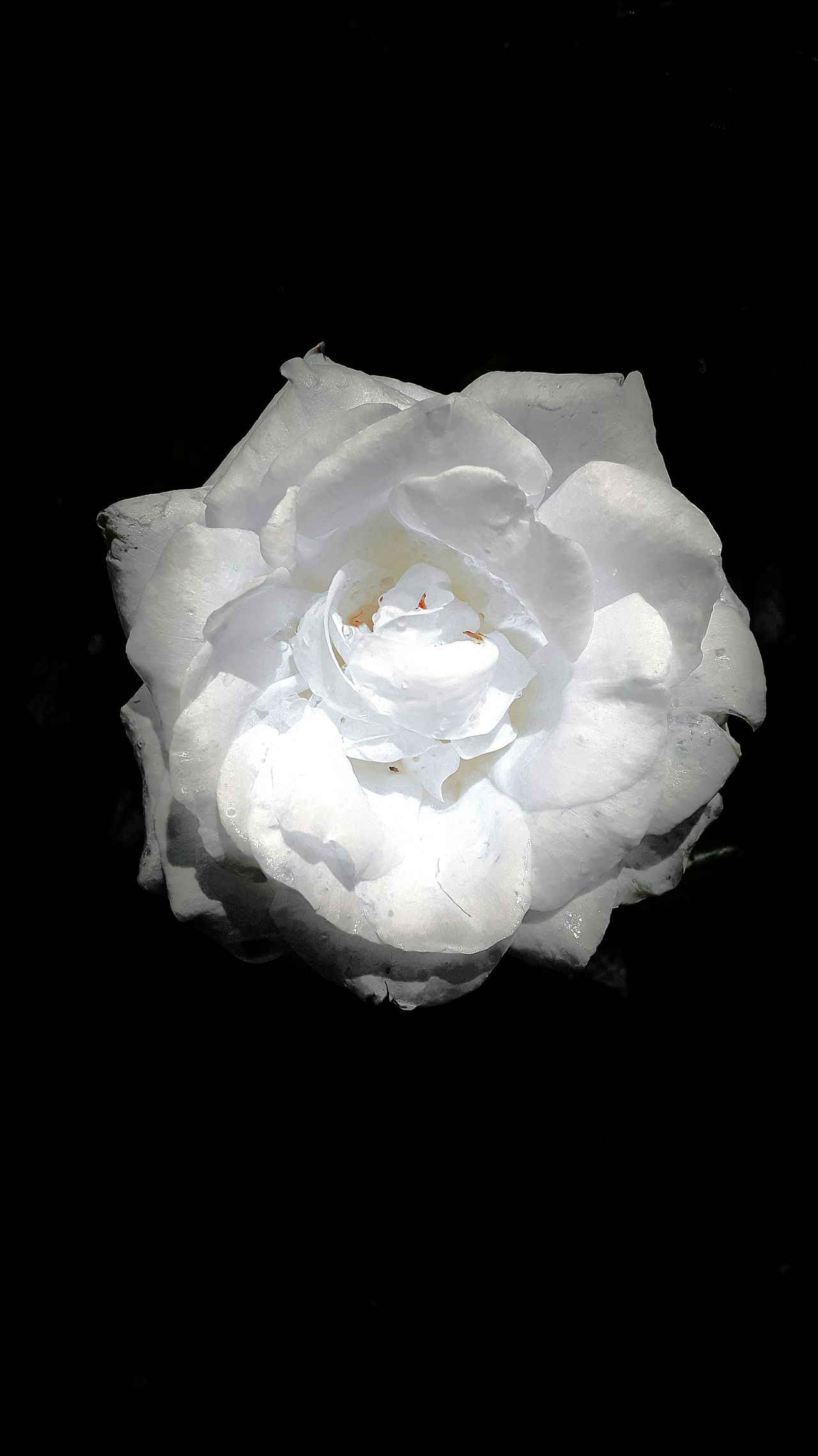 White Rose Flower Power Fine Art Photography