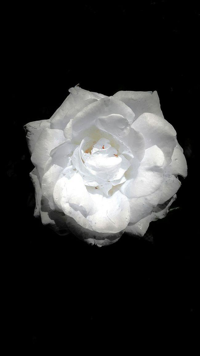 White Rose Flower Power Fine Art Photography