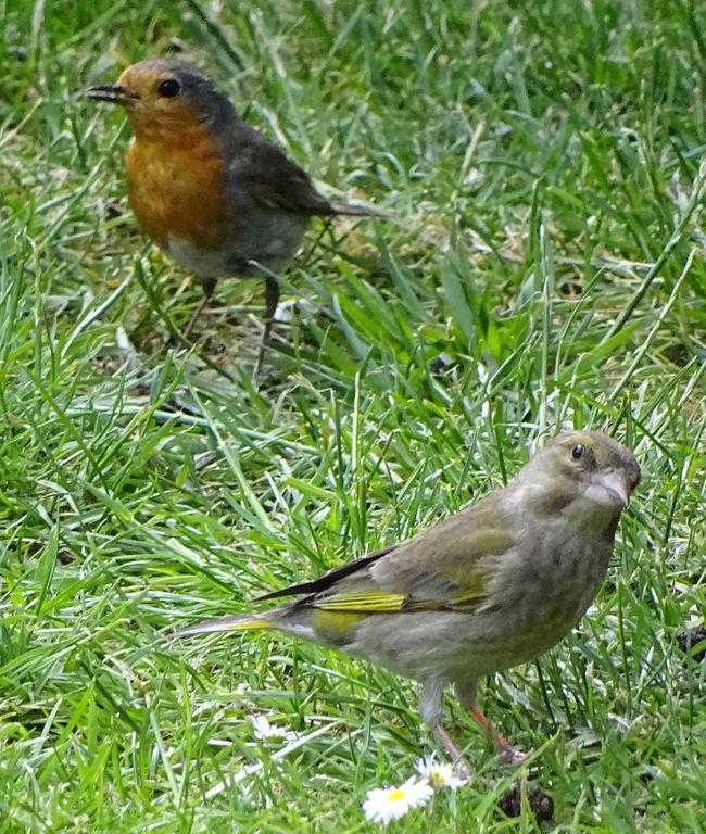 Animal Themes Animals In The Wild Bird Grass Greenfinch And Robin Redbreast Outdoors Two Animals Wildlife