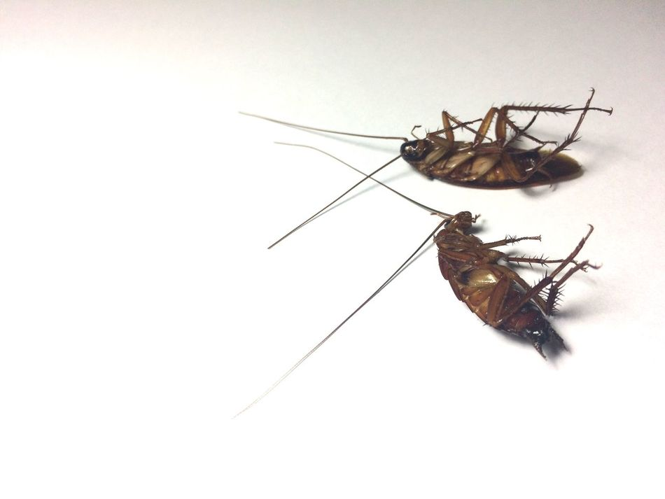 Beautiful stock photos of cockroach,  Cockroach,  Copy Space,  Cut Out,  Dead Animal