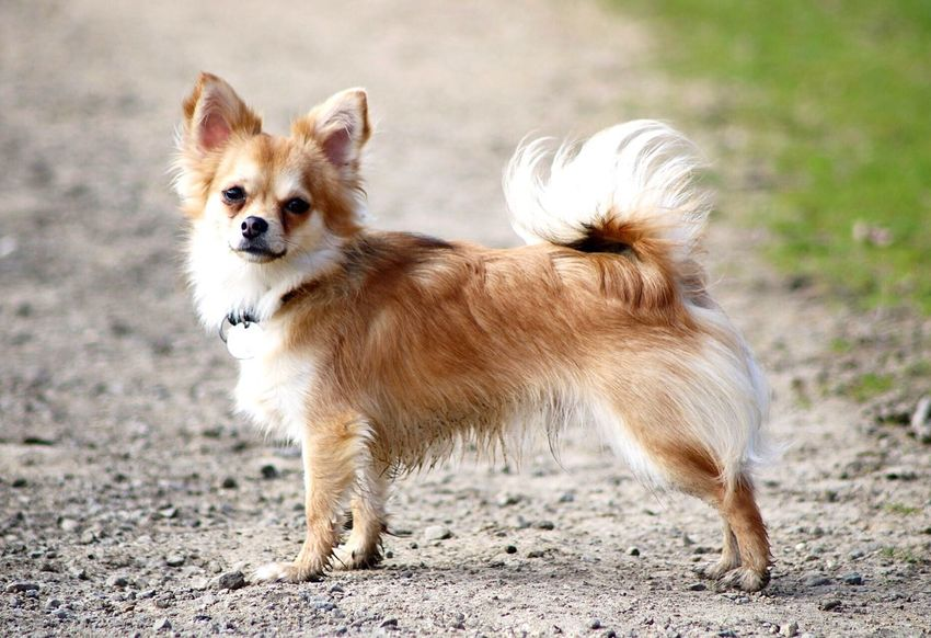 My Chihuahua has my heart. ❤️️ Dog Animal Themes Pets Domestic Animals Mammal Focus On Foreground Outdoors Day Portrait No People Close-up Nature Chihuahua Dogs