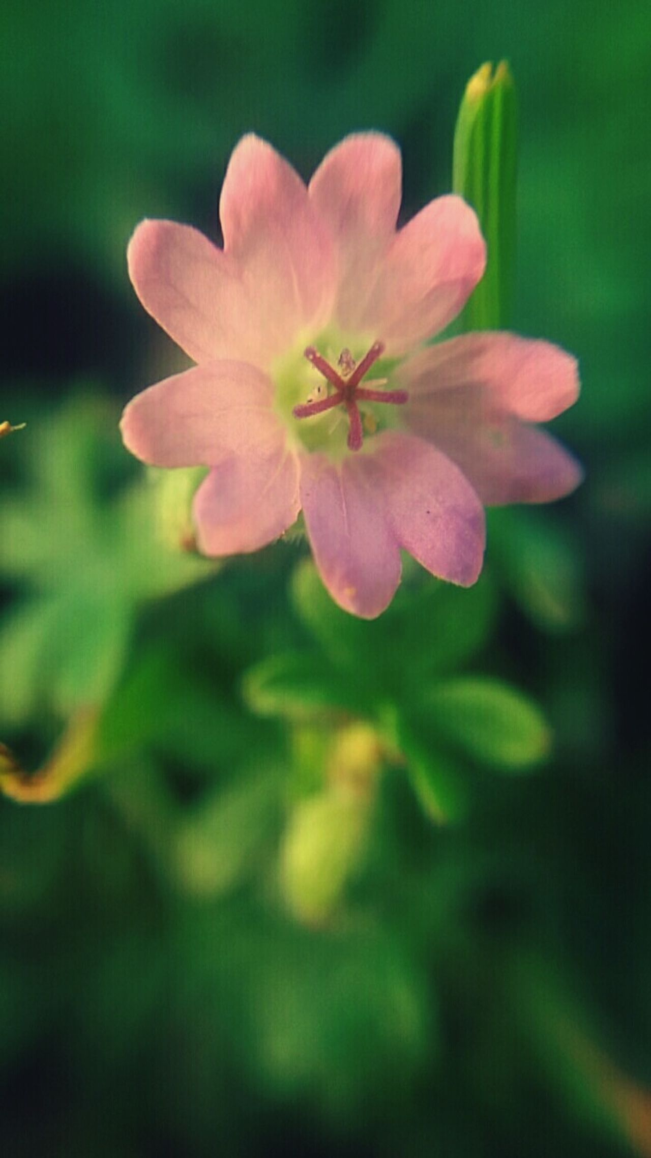 Flower Pink Color Petal Fragility Beauty In Nature Nature Pink Beautiful Zoom Talking Photo Natural Beauty