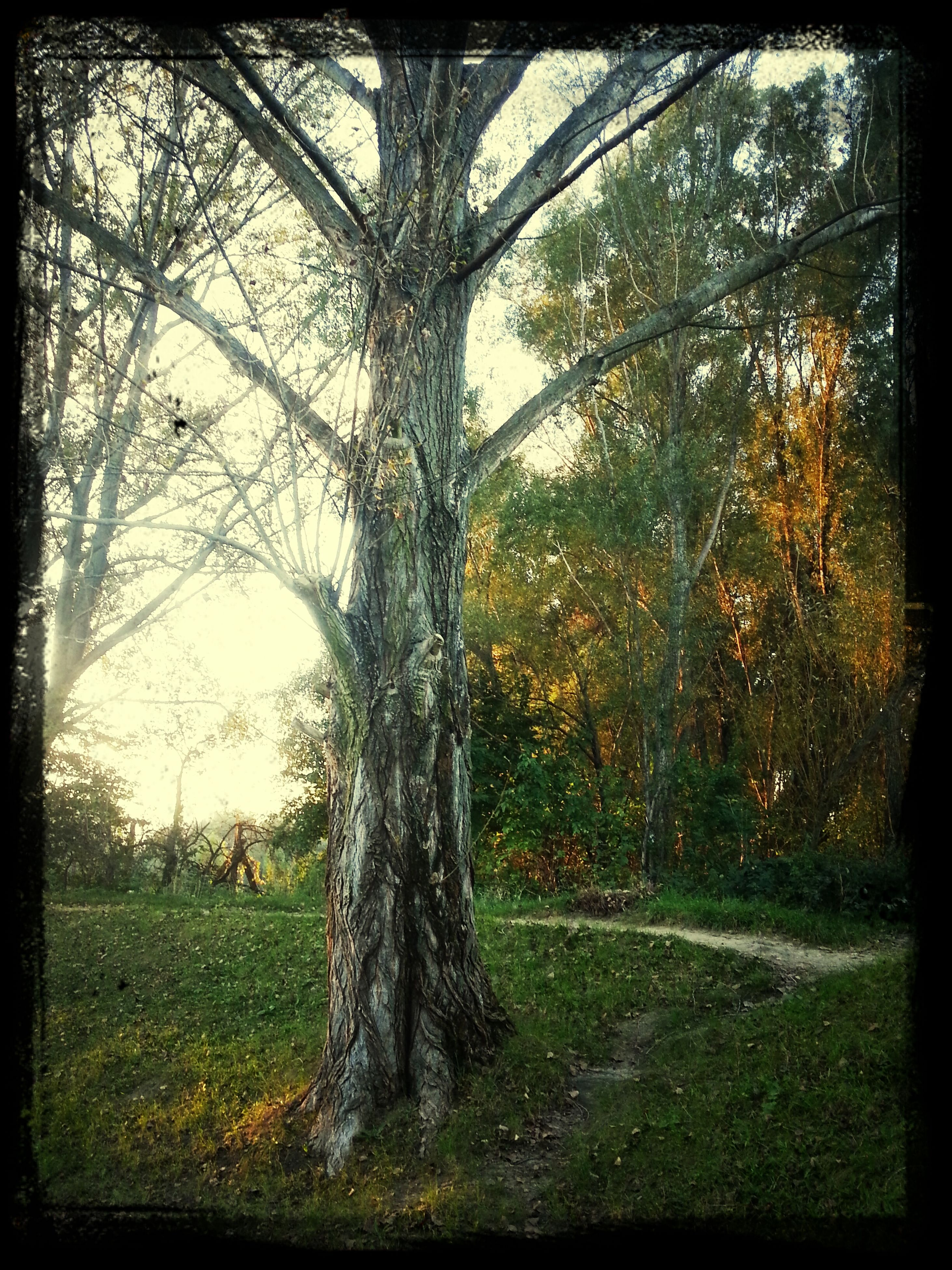tree, transfer print, tree trunk, auto post production filter, growth, tranquility, grass, nature, branch, tranquil scene, field, beauty in nature, scenics, sunlight, green color, landscape, day, outdoors, no people, park - man made space