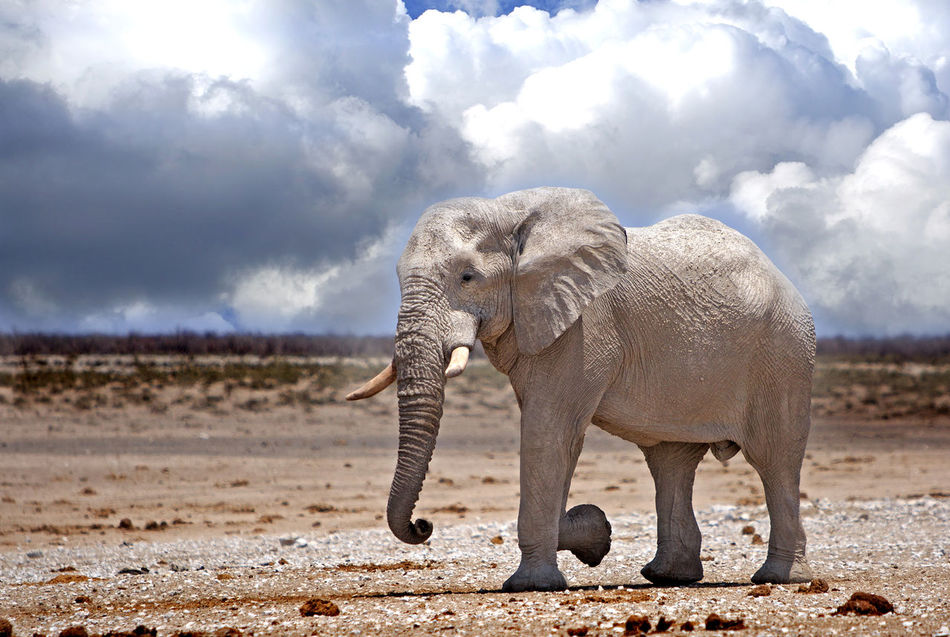 Beautiful stock photos of elefant,  Animal Themes,  Animal Wildlife,  Animals In The Wild,  Cloud - Sky