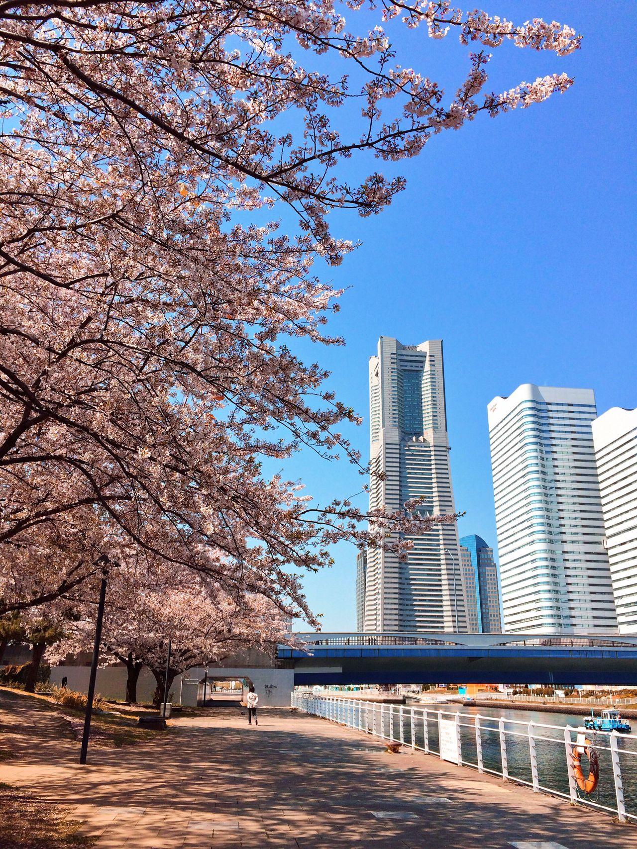 Sakura Cherry Blossoms Building Tree Springtime Outdoors 桜 春 建物 写真好きな人と繋がりたい 写真撮ってる人と繋がりたい ランドマークタワー 横浜ランドマークタワー in Yokohama-shi , Japan The Street Photographer