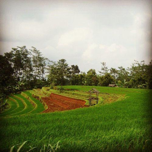 [ sawah ] Wonotunggal Batang Centraljava INDONESIA ricefield sawah green nature