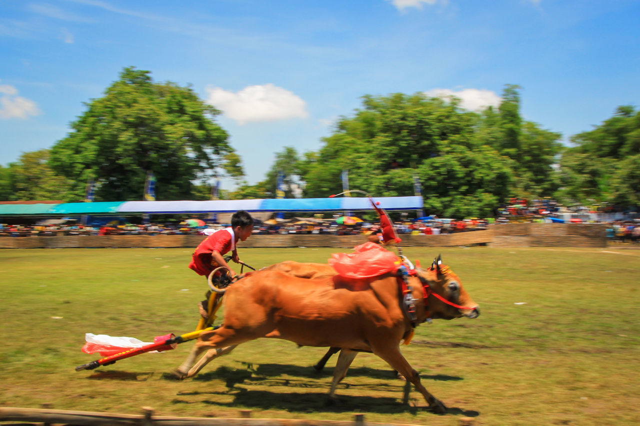 Bull Racing Traditional Racing Competition Karapan Sapi Bull Racing Traditional Racing Culture Madura Island Madura Traditional Culture Cultural Heritage Heritage Culture And Tradition Cultures Indonesia Culture Traditional