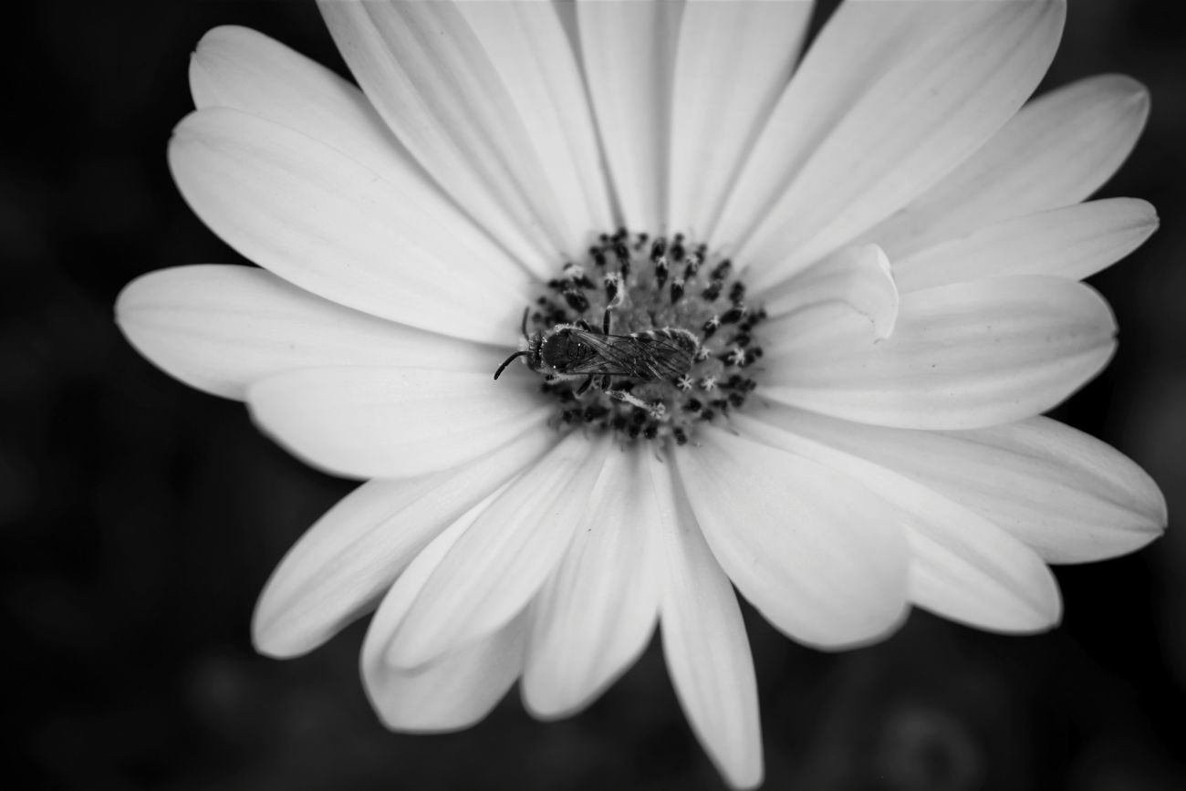Flower Flower Head Nature Makro Beauty In Nature Bee Black & White Blackandwhite Photography Monochrome EyeEmNewHere Photo All_shots Outdoors Beauty Dark Grey And White Summer