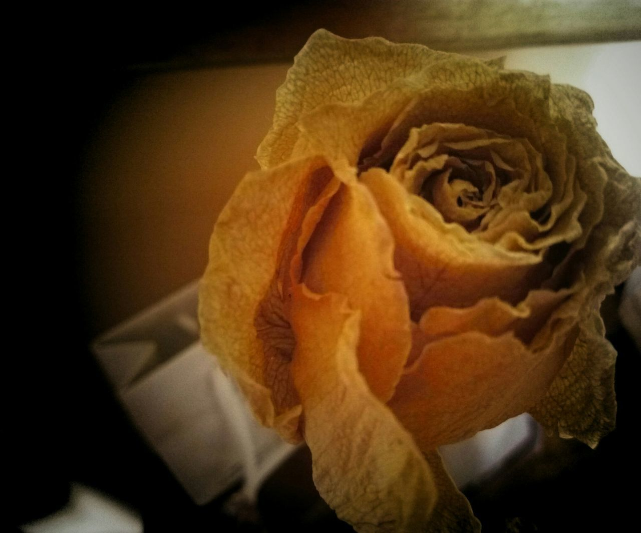 flower, petal, fragility, flower head, nature, rose - flower, close-up, beauty in nature, freshness, no people, growth, indoors, day