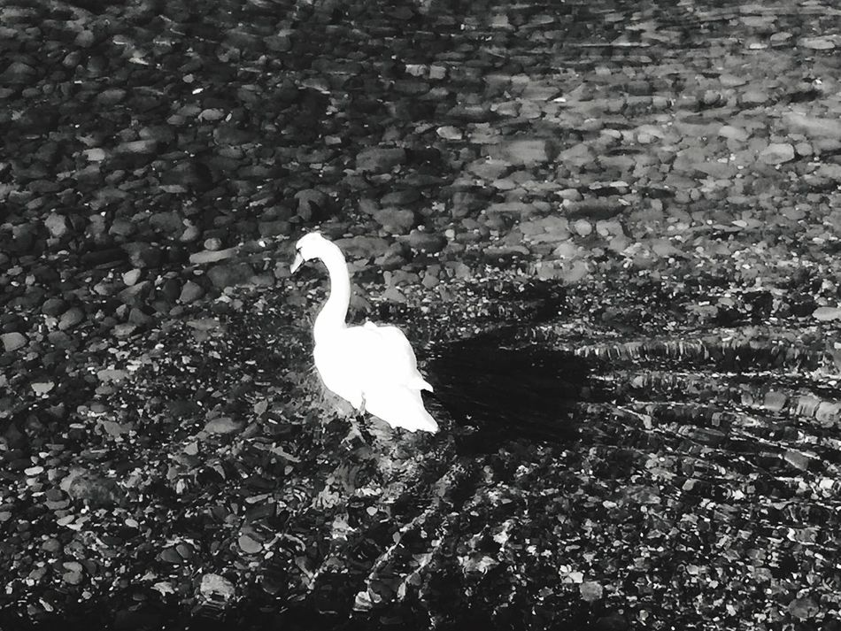 Swan EyeEmBestPics EyeEm Best Edits No Filter Lavaux Lake Leman Epesses Dezaley Lake View