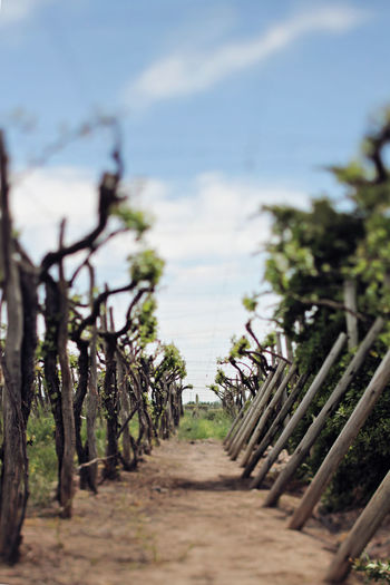 Vineyards of Mendoza, Argentina Andes Farm Growth Malbec Perspectives on Nature The Week on EyeEm Vineyards  Argentina Argentina Photography Beauty In Nature Bestoftheday Day Farming Focus On Foreground Garden Growth Nature No People Outdoors South America Tilt Shift Travel Destinations Vineyard Vineyard Cultivation Wine