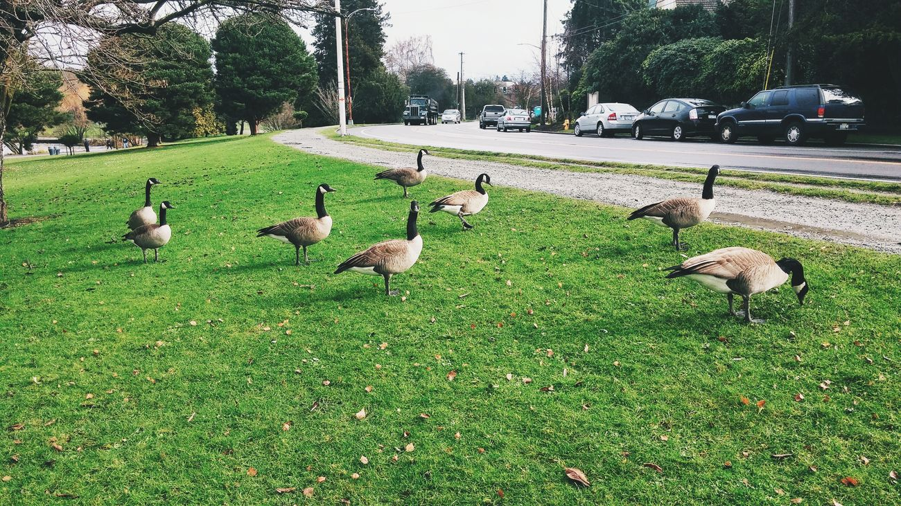 Walking Around EyeEm Best Shots EyeEm Gallery Vscocam Vscogood Smartphonephotography EyeEmBestPics Eye4photography  Mobilephotography VSCO Meloncholic Geese Nature_collection Nature Photography Naturelovers