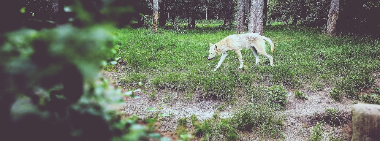 animal themes, mammal, one animal, domestic animals, field, nature, grass, day, outdoors, tree, no people, growth, green color, grazing, full length, beauty in nature