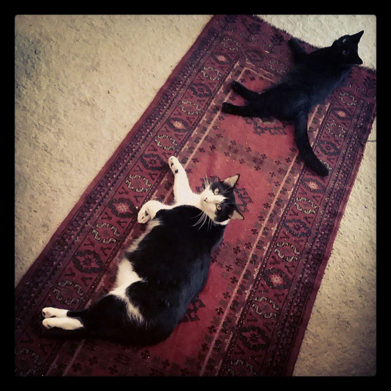Lazycatdaze Bagheerah Themingming Catsofinstagram cats blackandwhitecats felinefamily blackcats furbaby
