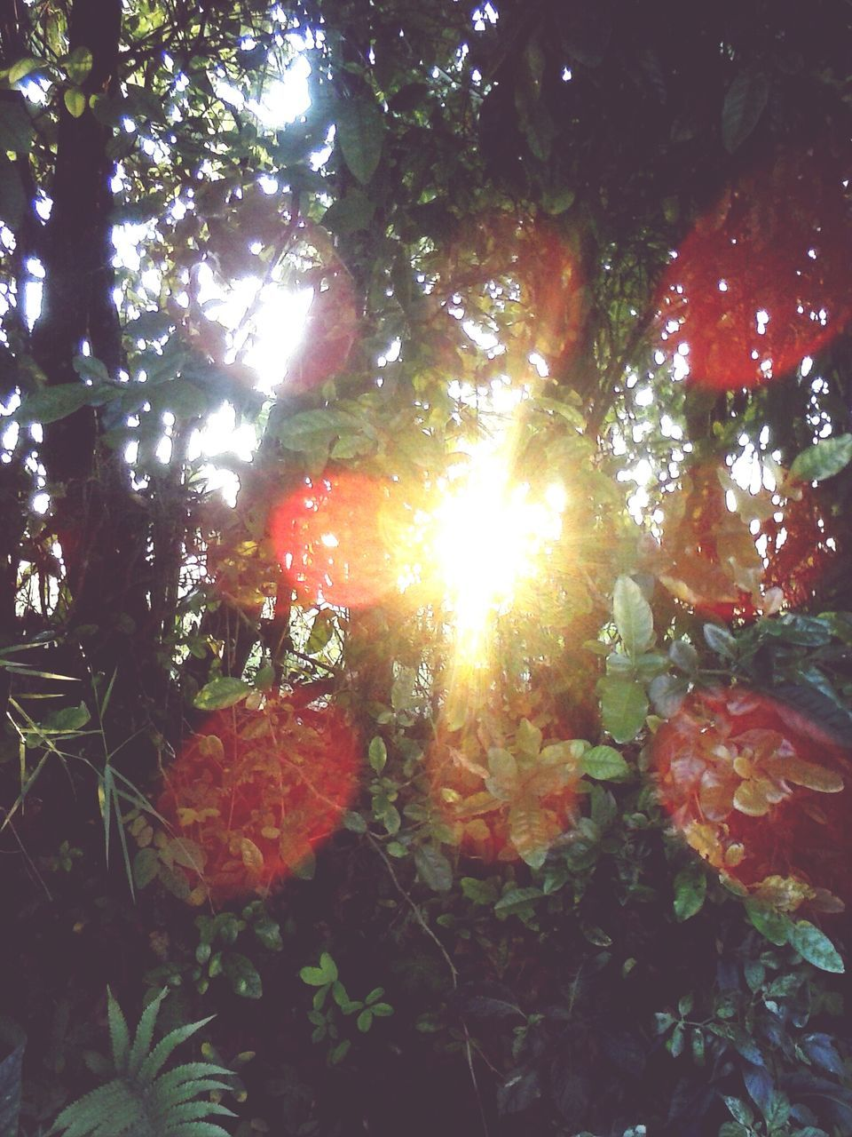 nature, growth, tree, lens flare, sunbeam, no people, sunlight, sun, beauty in nature, tranquility, outdoors, leaf, plant, day, low angle view, forest, branch, freshness, close-up