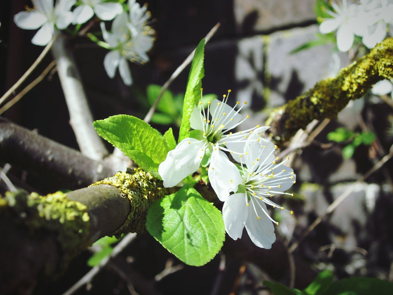 growth, nature, flower, beauty in nature, plant, leaf, white color, fragility, freshness, green color, focus on foreground, day, no people, outdoors, close-up, branch, tree, flower head