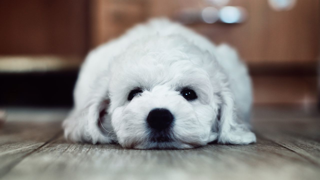 Dog Pets Domestic Animals One Animal Animal Themes Mammal Looking At Camera Indoors  White Color Portrait Puppy Animal Head  Cute Close-up Home Interior No People Animal Hair Purebred Dog West Highland White Terrier Lying Down