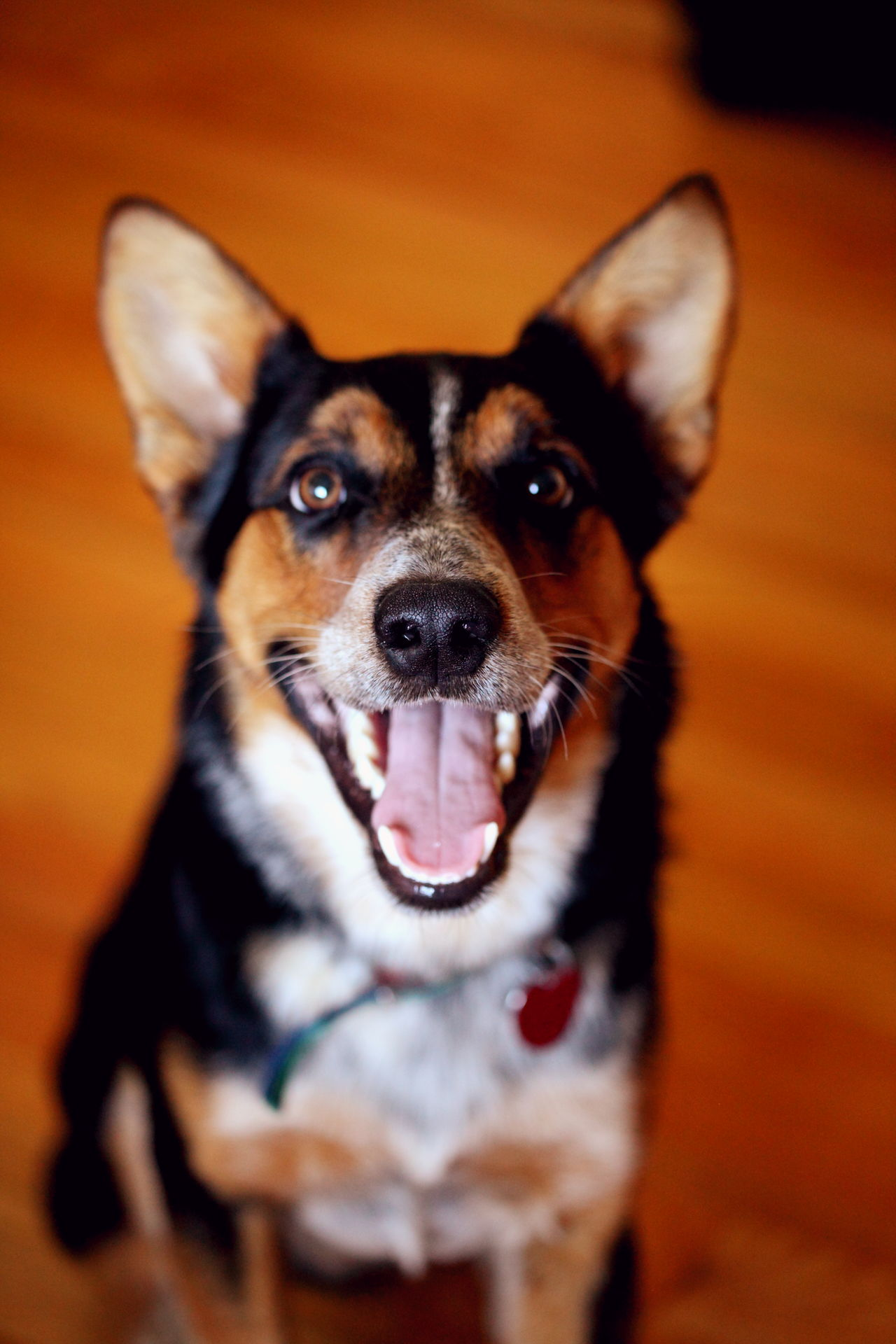 Alertness Animal Head  Black Color Blue Heeler Border Collie Cattledog Close-up Cute Dog Dogs Domestic Animals Happy Mammal Mixed Breed Mutt No People Nose Pet Collar Pets Portrait Puppy Smiling Snout