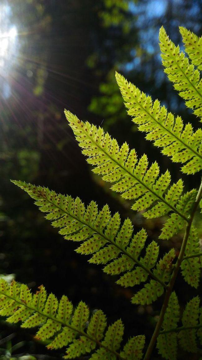 Green Color Leaf Nature Beauty In Nature Freshness Leaf Vein Outdoors Botany Green WoodLand Fern Naturelovers Sunny папоротник Zenphotography Zenfone2laser Ze601kl Intheforest
