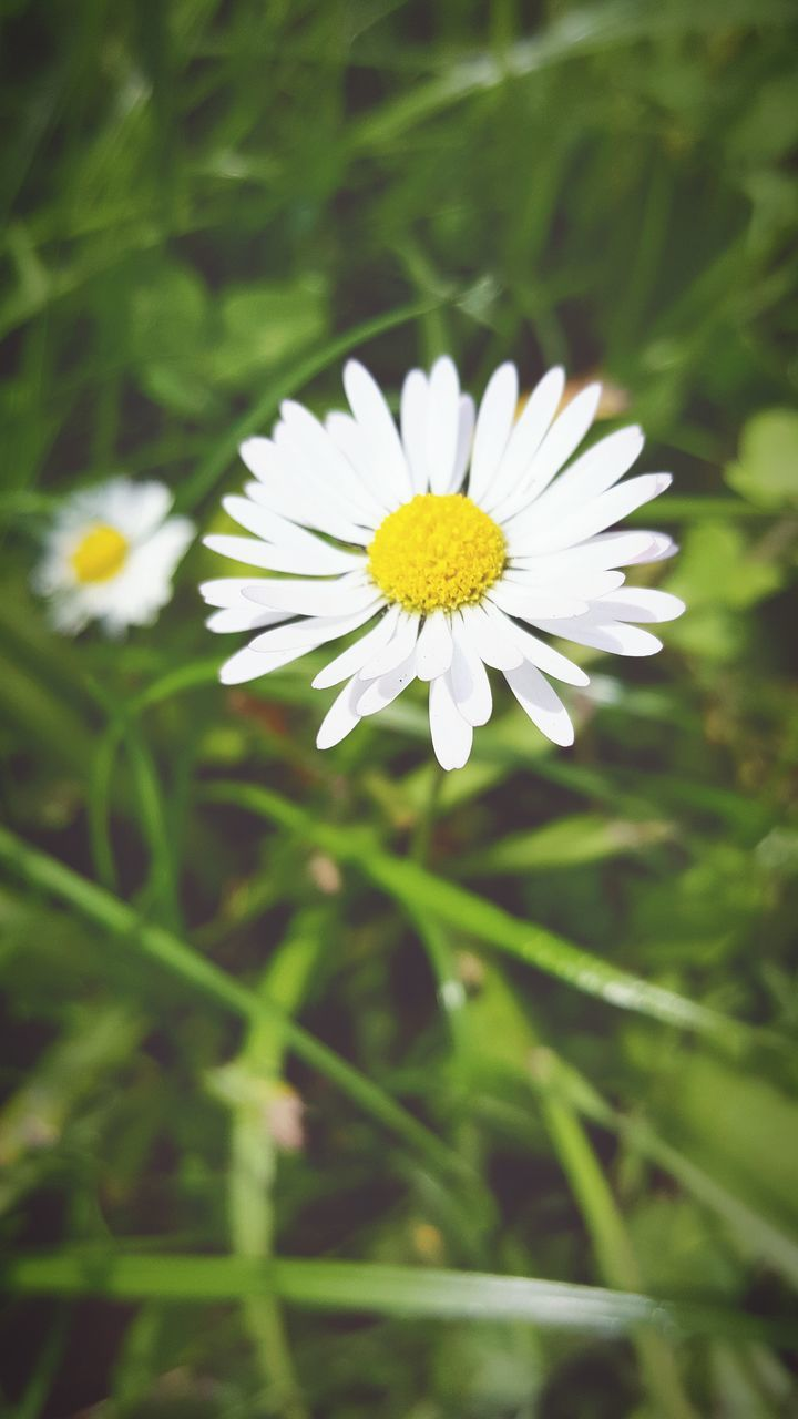 flower, petal, white color, beauty in nature, nature, freshness, fragility, yellow, flower head, growth, day, outdoors, plant, close-up, blooming, no people