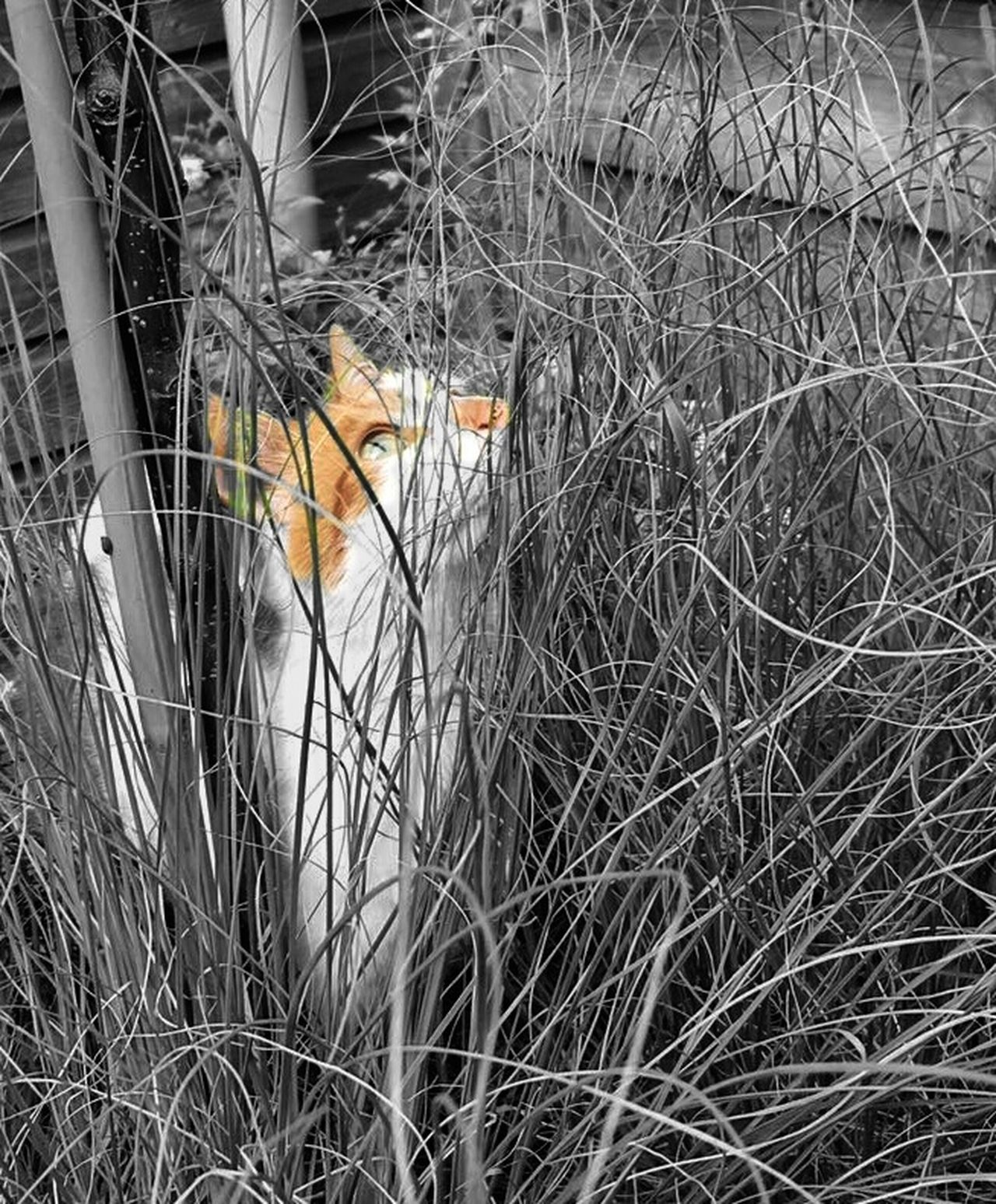 Neighborhood Cat Hiding In The Grass Looking Up with Intense Eyes Mesmerized by Something Unusual Alphen Aan Den Rijn Netherlands (c) 2016 Shangita Bose All Rights Reserved From My Point Of View Adventure Club Colorsplash Monochrome Black And White Showcase July A Bird's Eye View