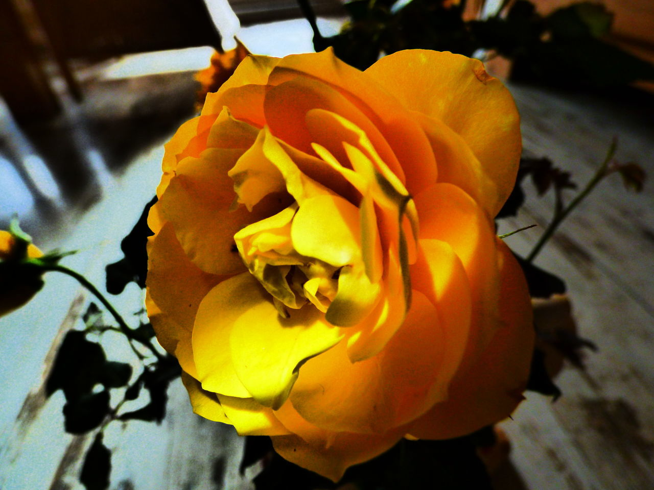flower, petal, fragility, flower head, no people, beauty in nature, close-up, nature, freshness, yellow, day, indoors