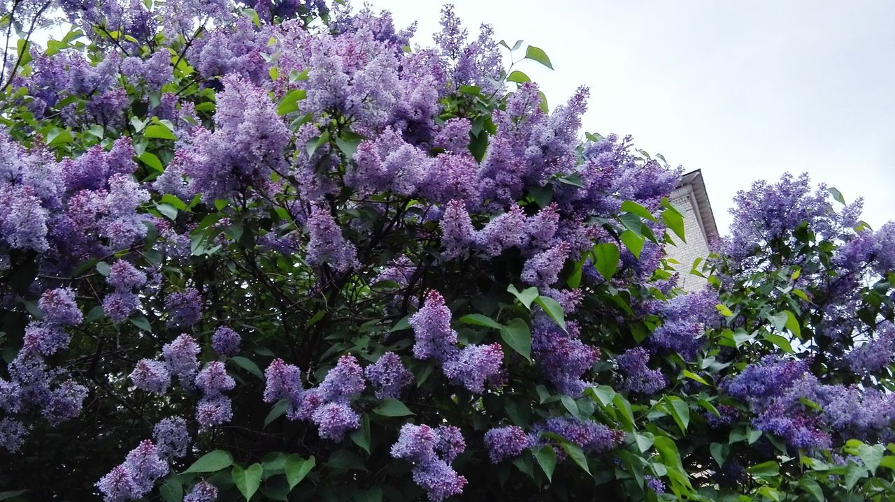 growth, nature, flower, purple, fragility, no people, plant, lilac, beauty in nature, freshness, day, outdoors, tree, close-up