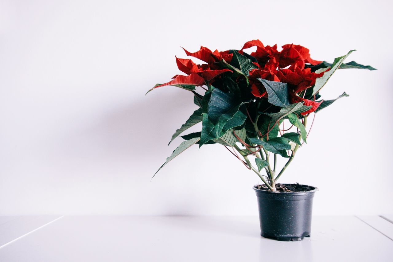 Poinsettia Minimalism Minimal Christmas Spirit Home Sweet Home Interior Views White White Album