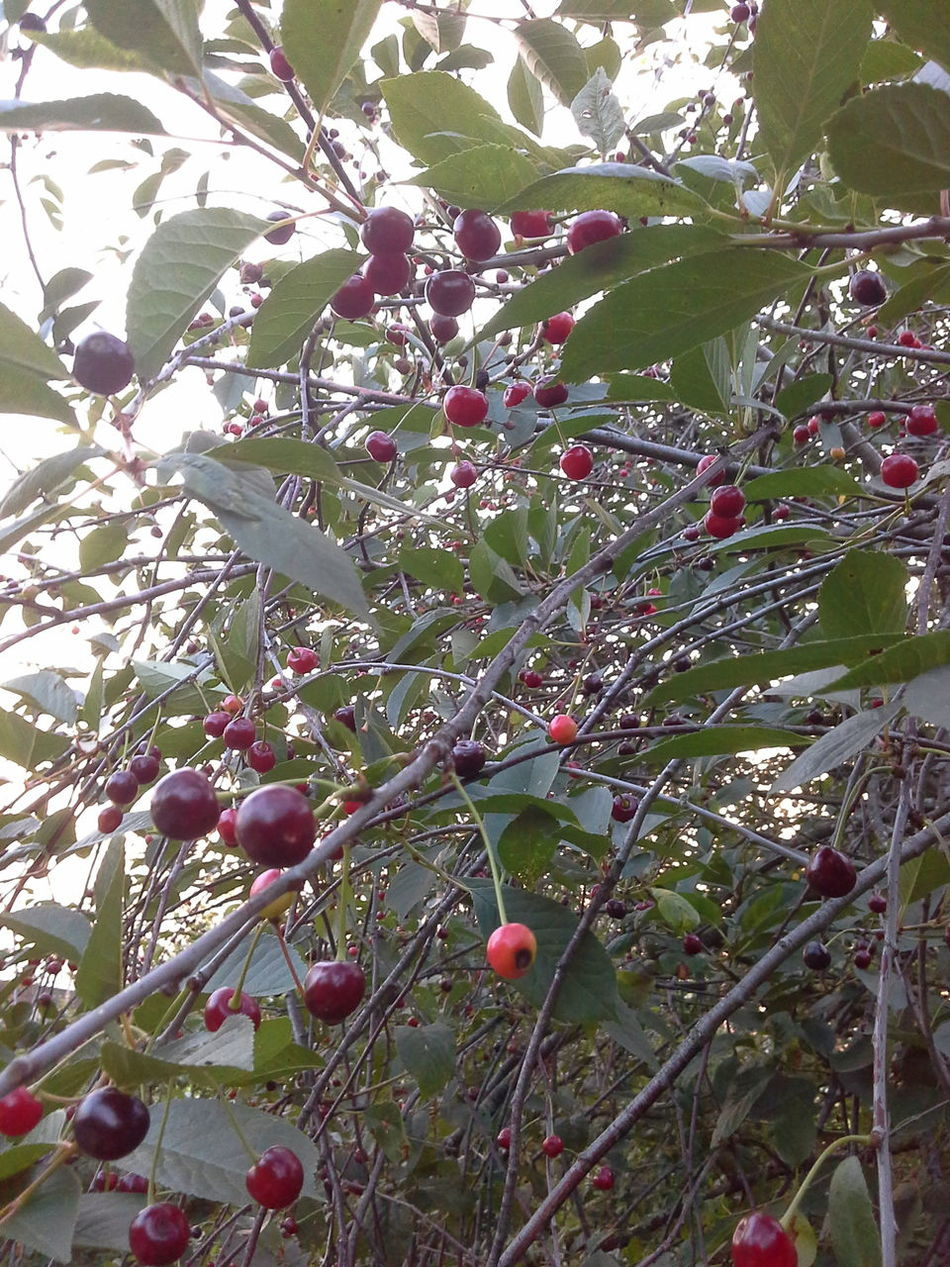 Вишневый микс!!! Вишневый микс!!! Cherry Mix Cherry Fruits Natural Beauty Nature Photography Nature_collection EyeEm Nature Lover EyeEm Best Shots - Nature Summer ☀