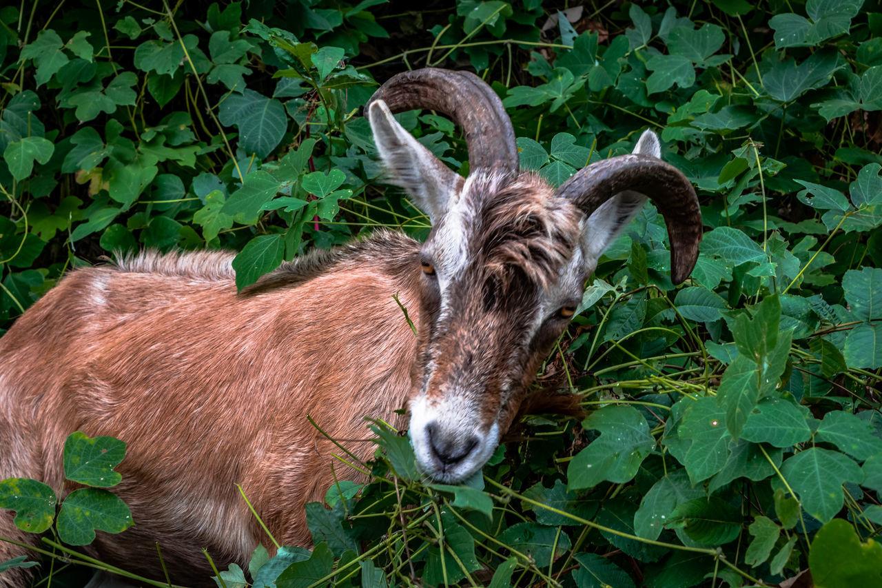 Beautiful stock photos of goat, Animal Themes, Animal Wildlife, Animals In The Wild, Brown