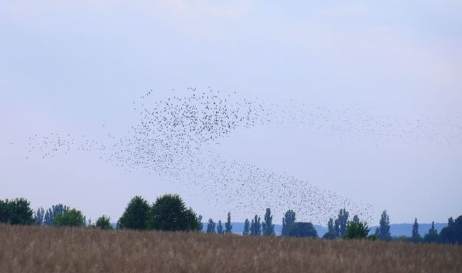 The formation flight of starlings inspires me again and again. It's fantastic to see how all seemingly switch to command the direction ... Summertime Starlings Flock Of Birds Over Fields Landscape thousands of them flying to the harvested cornfields Tadaa Community