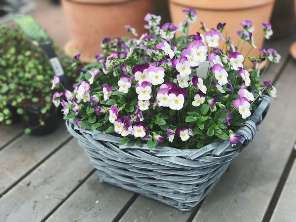 Basket Flower Freshness High Angle View Growth Close-up Purple Plant Day Fragility Outdoors No People Nature Flower Head