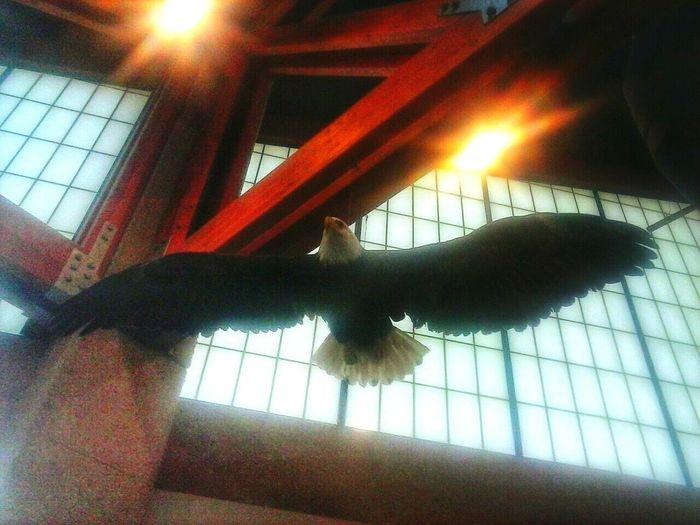 Indoors  Eagle Structure Missouri Conservation